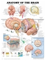 "Chart Anatomical Anatomy of The Brain 20x26"" EA"