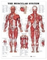 Chart Anat Muscular System-Ea